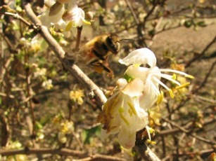 honeybee flying between white blossoms on a bush